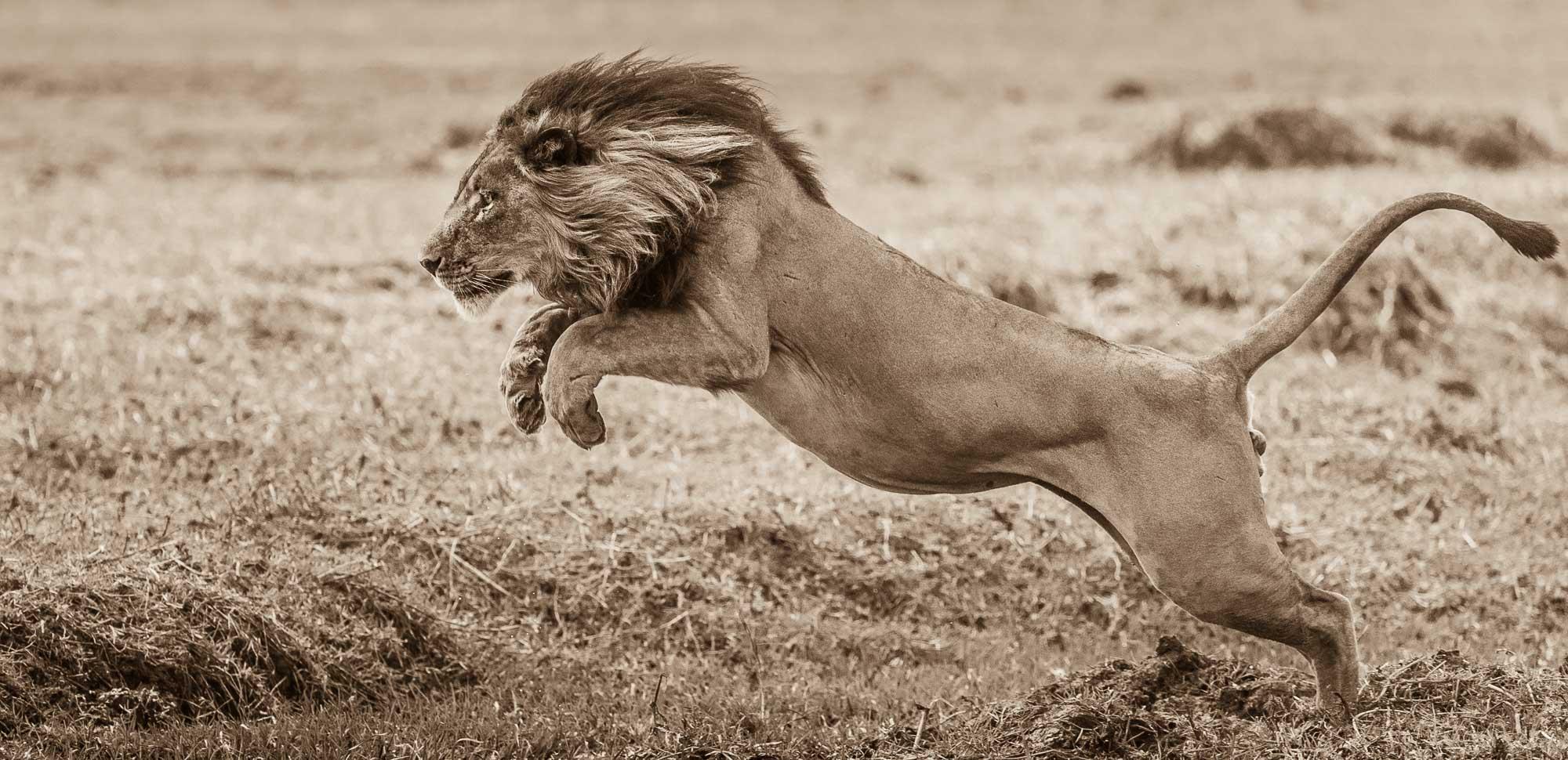 Lion - Busanga Plains - Kafue National Park - Zambia