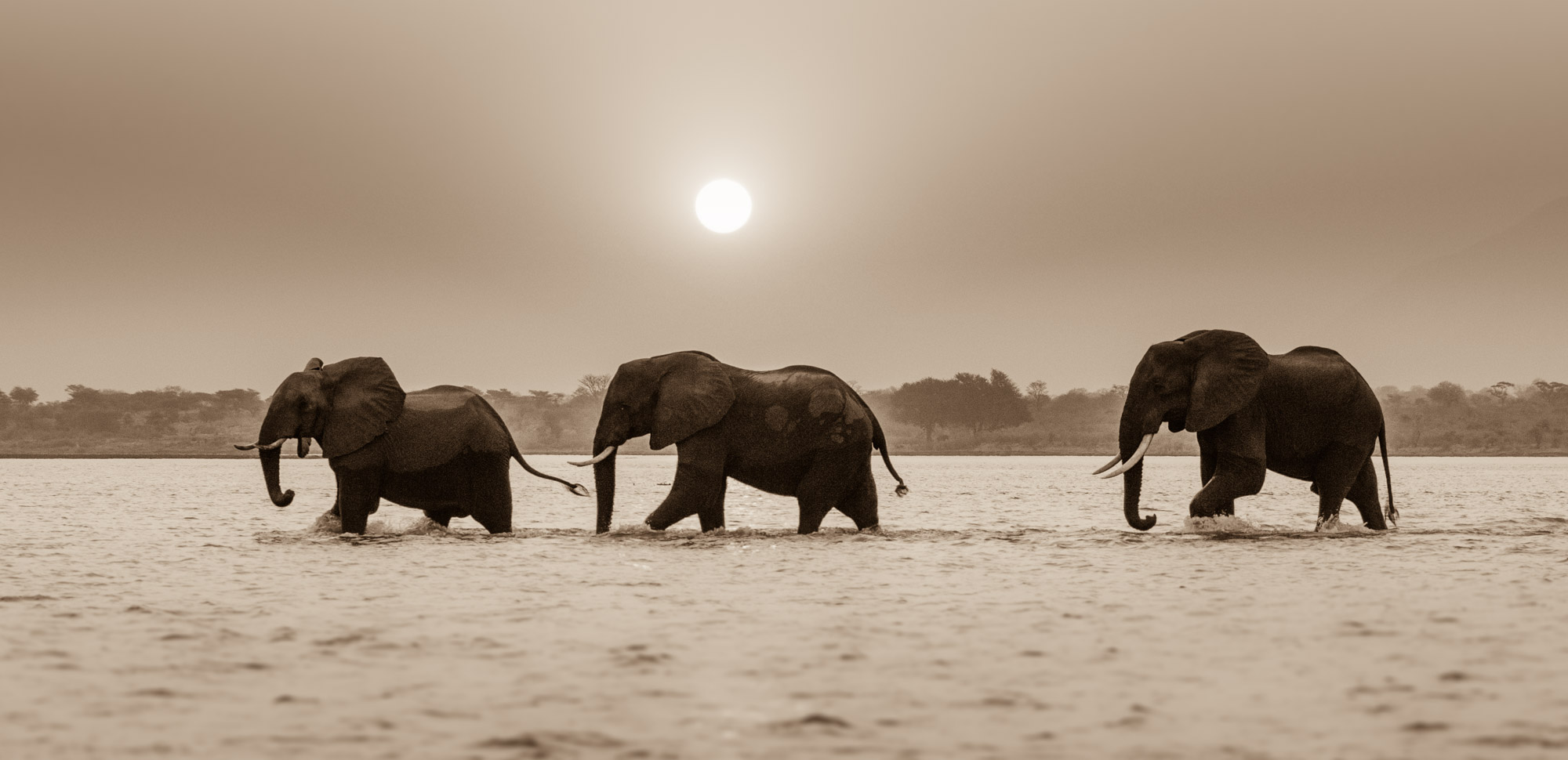 Three bull elephants crossing the Zambezi River in Mana Pools National Park in Zimbabwe