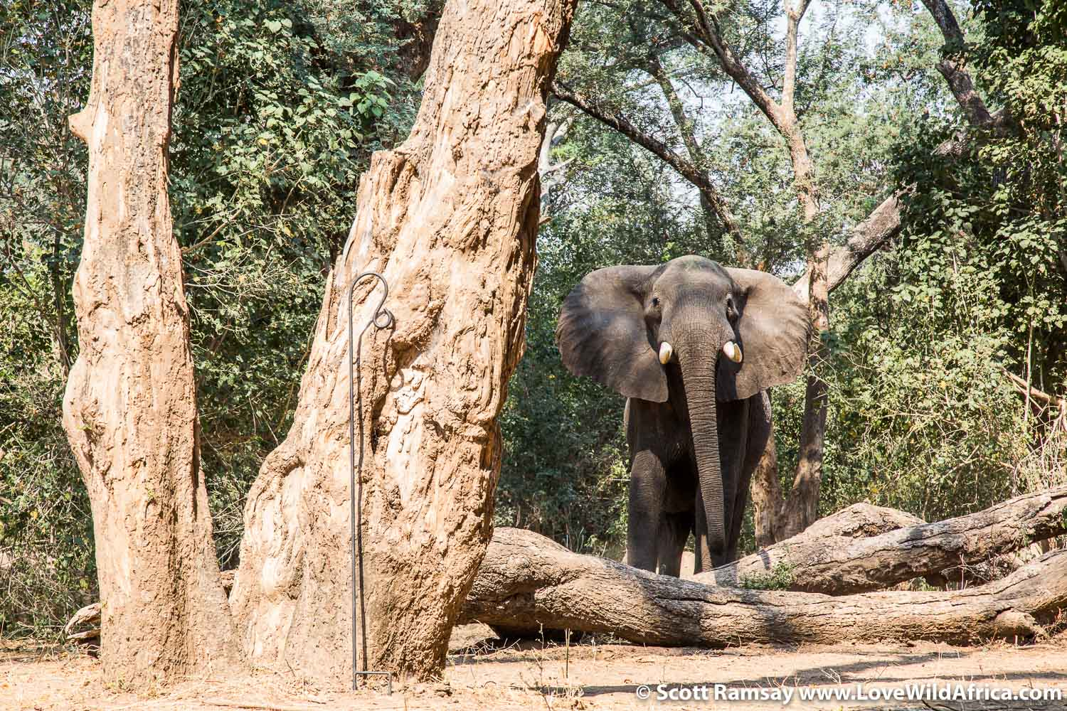 Good afternoon, Mr Elephant. Another bull wanders through camp...remember to always look left and right, and left again, when emerging from your luxury tent!