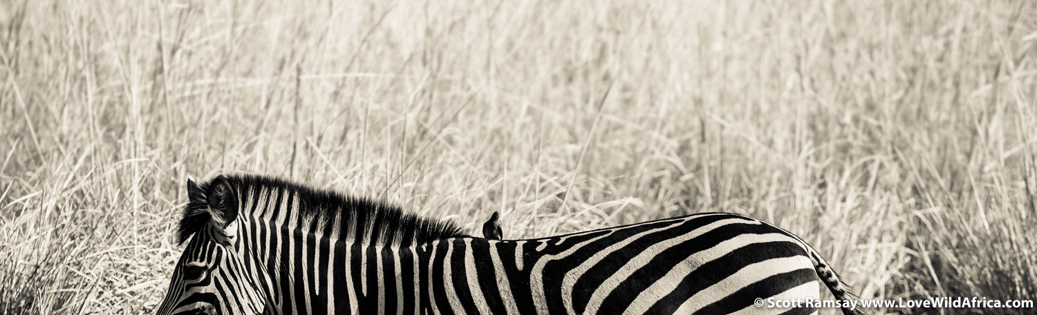 Zebra and grass in Mana Pools