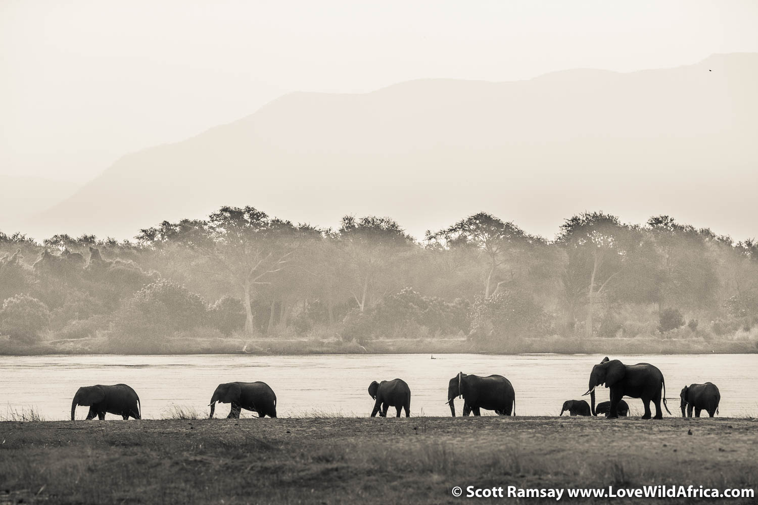 Elephants walking along the Zambezi River floodplain