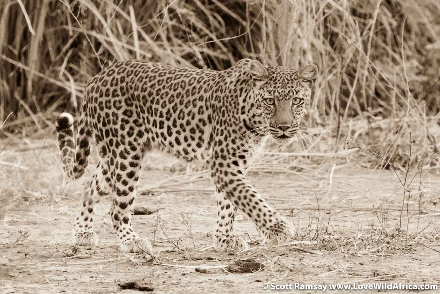 Lady leopard of Mana Pools