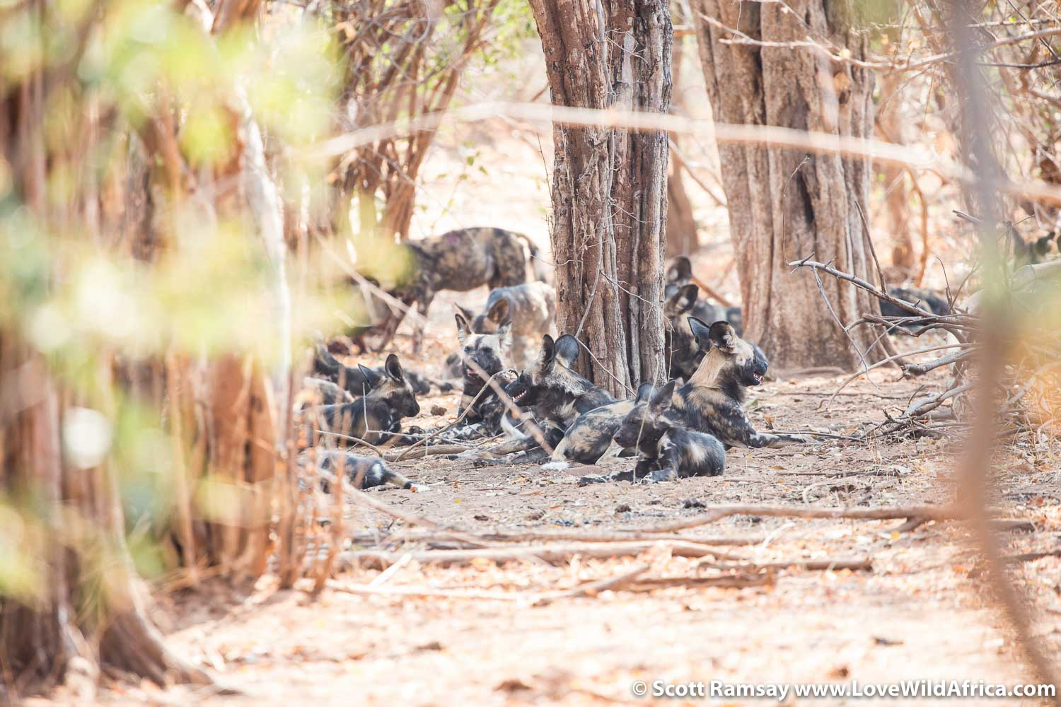 Walking with wild dogs in Mana Pools