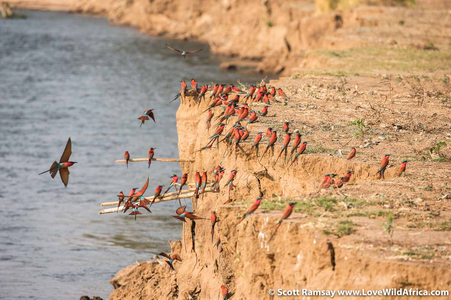 Southern carmine bee-eaters nest in the sandbanks of the Zambezi River.