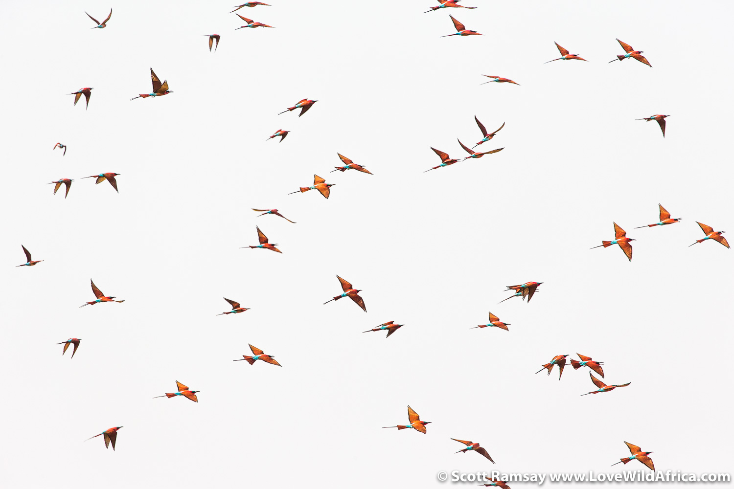 My kind of air traffic. Southern carmine bee-eaters flock in their thousands.