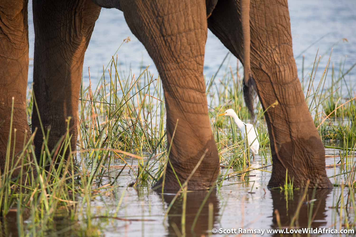 Little egret and elephant on Zambezi River in Mana Pools