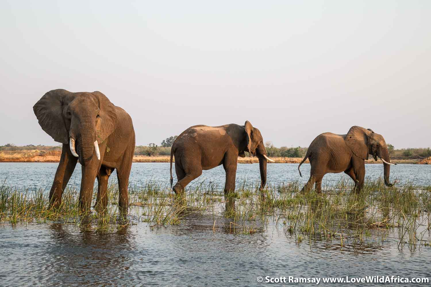 Three bull elephants feeding on succulent grass on an island in the Zambezi River in Mana Pools.
