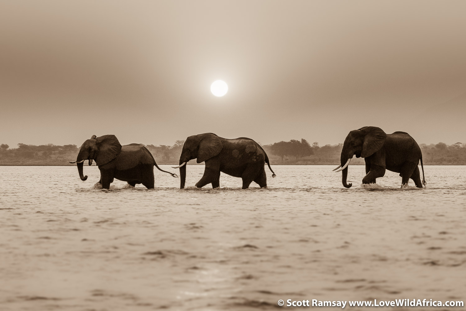 Magic of Mana. Bull elephants crossing Zambezi River in Mana Pools.