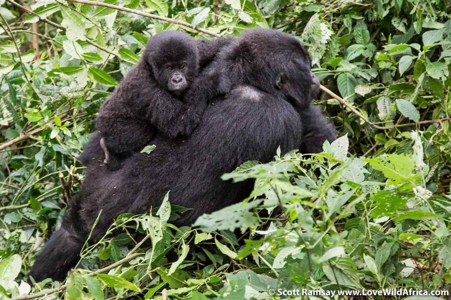 A baby rides the back of his mother, as the gorillas moved past us to a clearing nearby.
