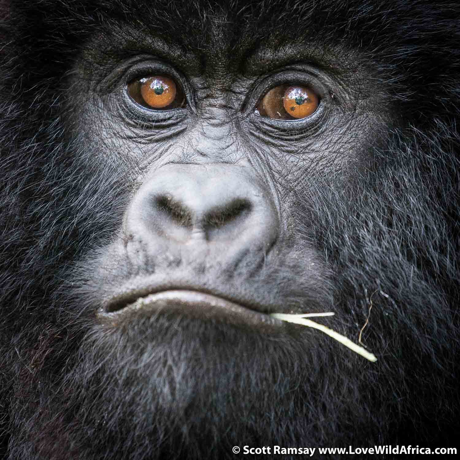 A young gorilla. As they get older, their eyes tend to darken.