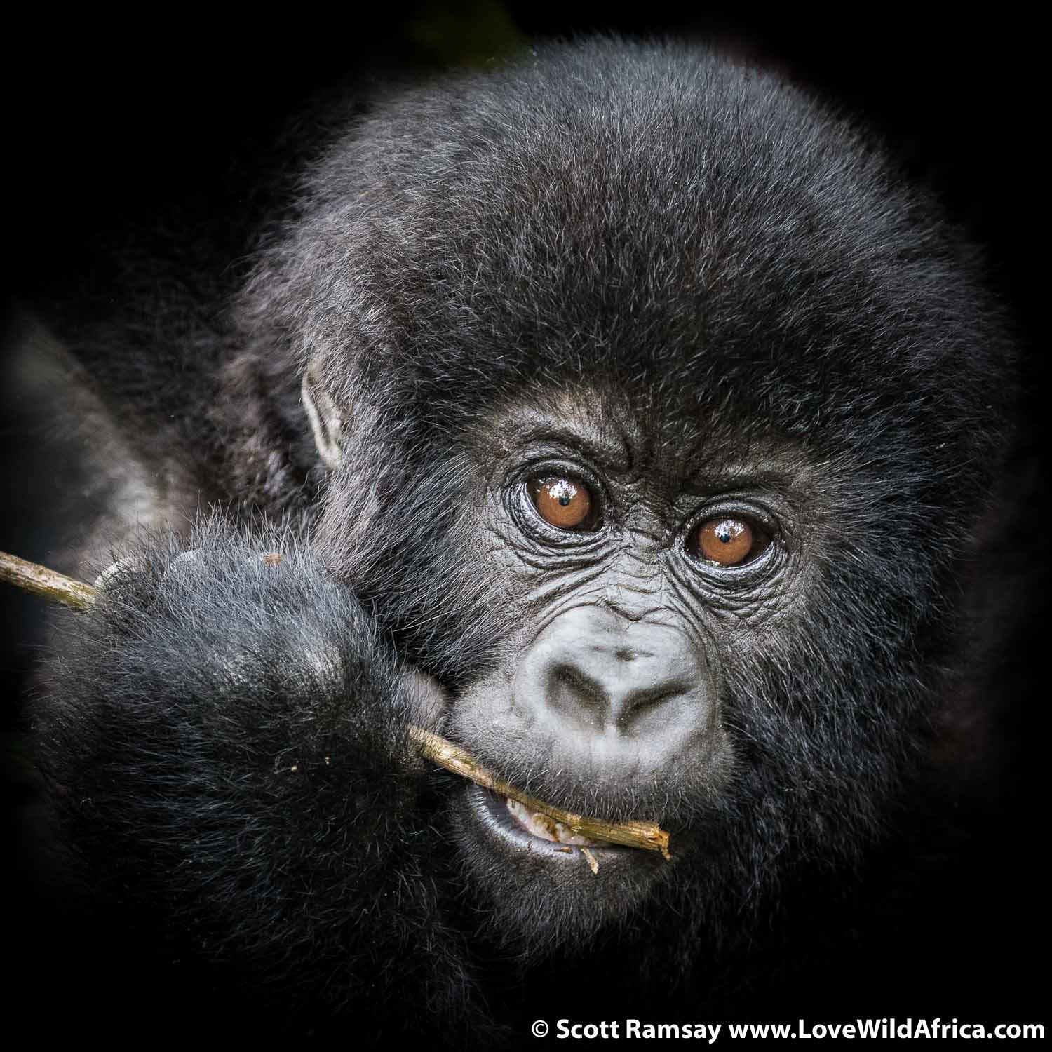 Maybe if more politicians and army generals went on a gorilla trek, there'd be fewer wars and conflicts...how does one stay angry when a baby gorilla looks at you like this?!