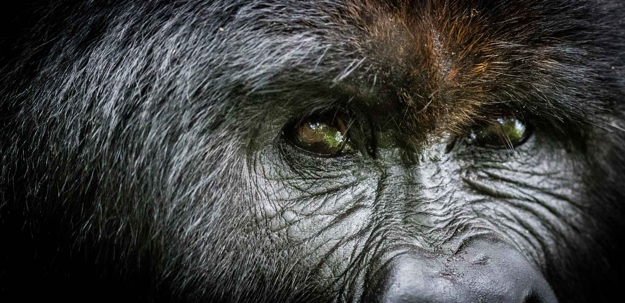 Mountain gorilla in Virunga - copyright Scott Ramsay www.LoveWildAfrica.com