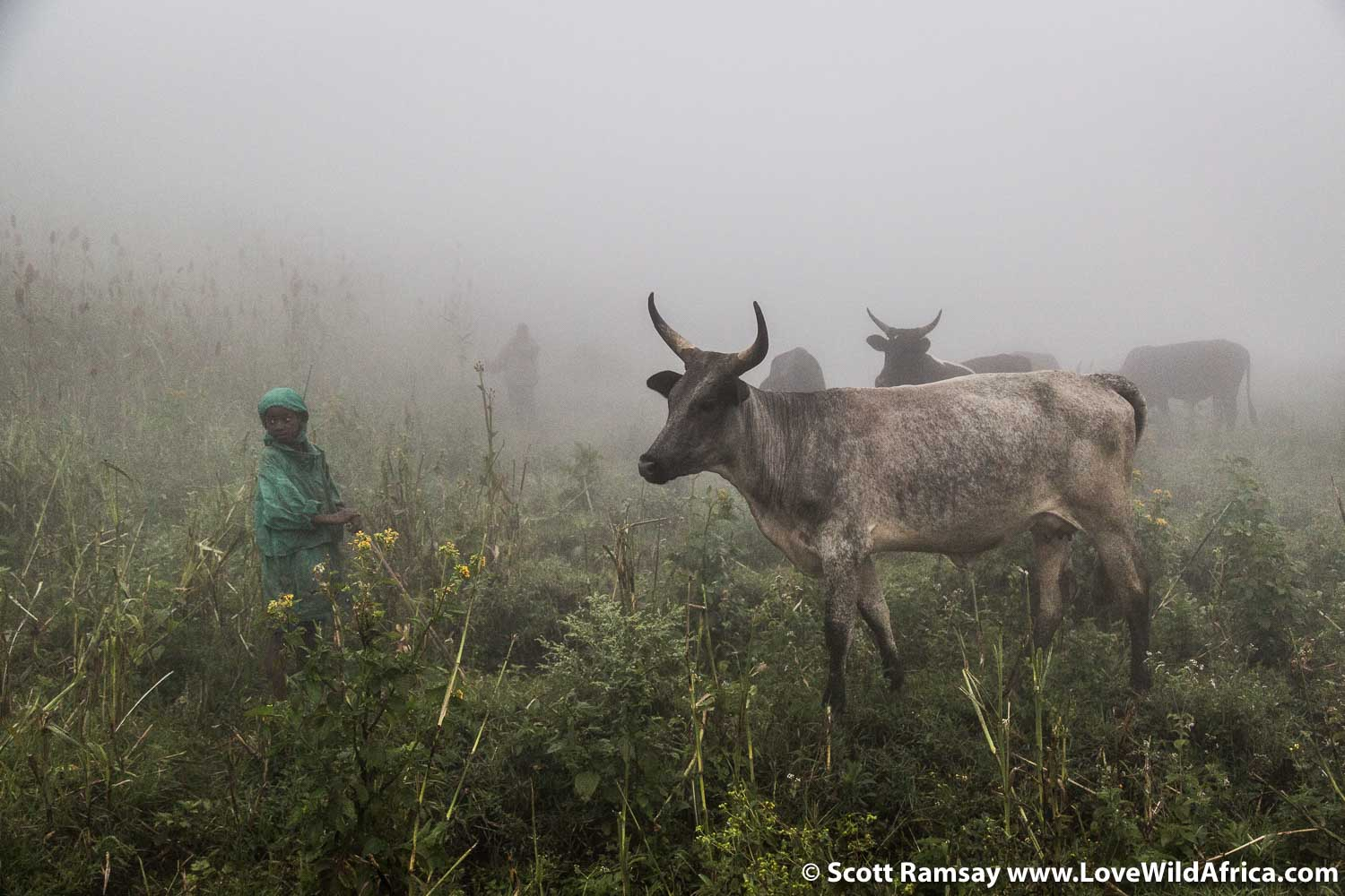 Virunga National Park is surrounded by agricultural land and several hundred villages and towns. Olivier Sadiki and his herd of cattle near Bukima Ranger post, just a few hundred metres from the forest of the mountain gorillas.