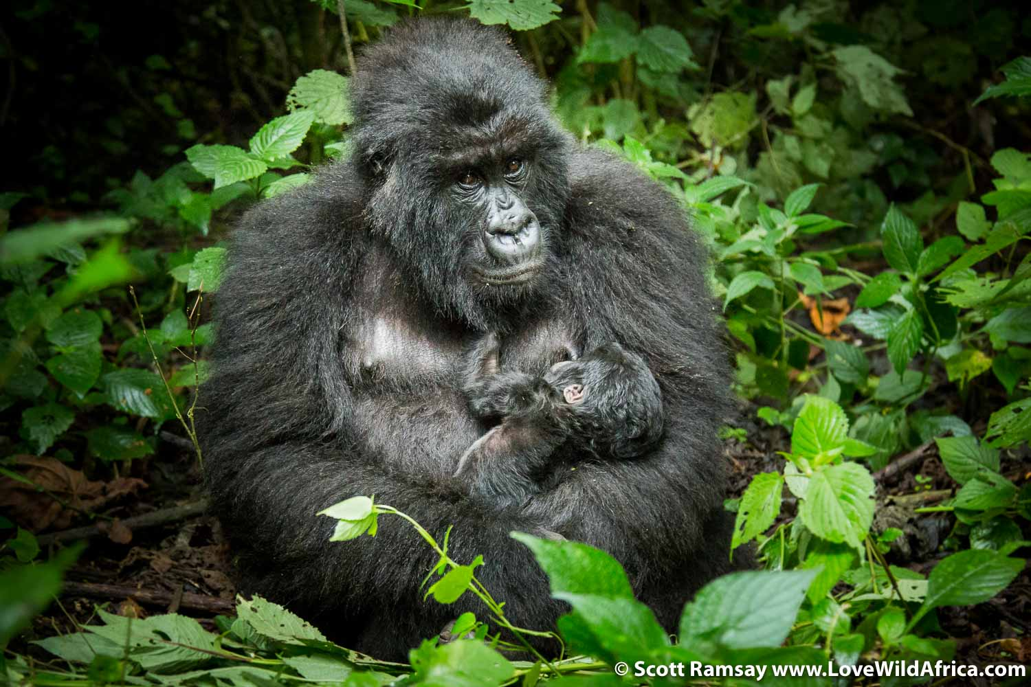 Mother and two-week old baby, part of the Humba family of mountain gorillas on the slopes of Mount Mikeno.