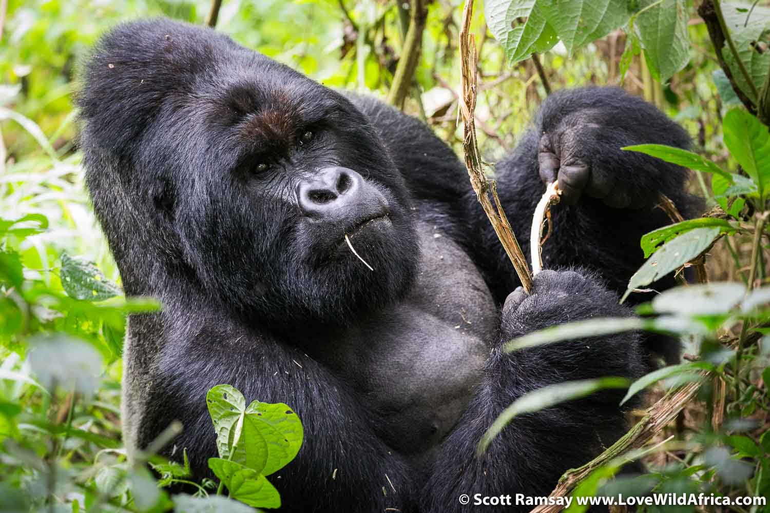 The dominant silverback of the Nyakamwe family, on the slopes of Mount Mikeno.