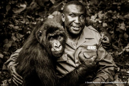 Andre Bauma and orphaned gorilla - Senkwekwe - Virunga National Park - Democratic Republic of Congo