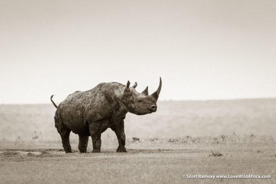 Black rhino - Laikipia - Kenya