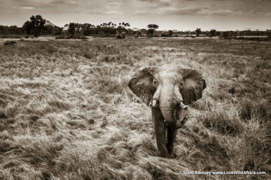 Bull elephant - Samburuland - Kenya