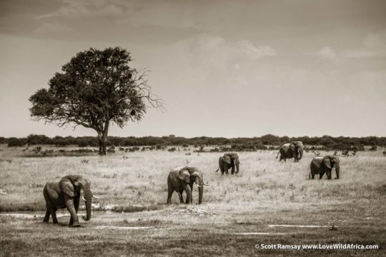 Bull elephants - Hwange National Park - Zimbabwe
