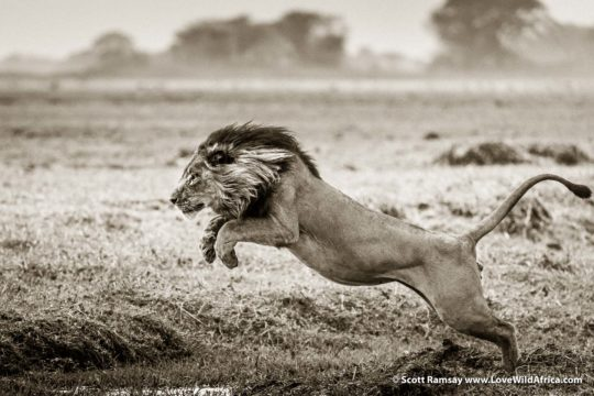 Leaping lion - Busanga Plains - Kafue National Park - Zambia