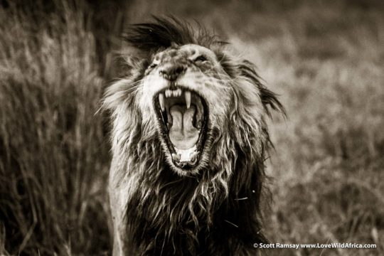 Lion yawn - Busanga Plains - Kafue National Park - Zambia