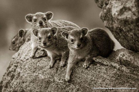 Bush hyrax - Samburuland - Kenya