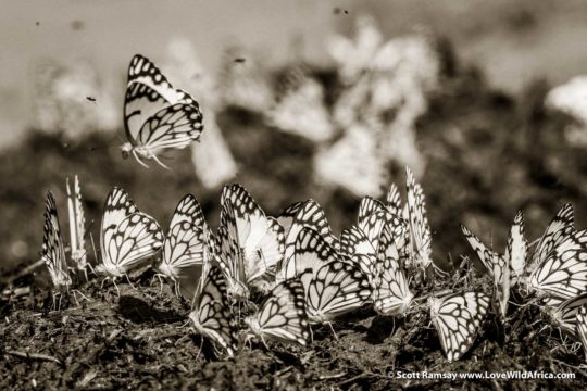 Butterflies and elephant dung - Samburuland - Kenya