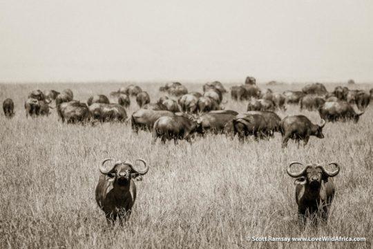 Cape buffalo herd - Maasai Mara - Kenya