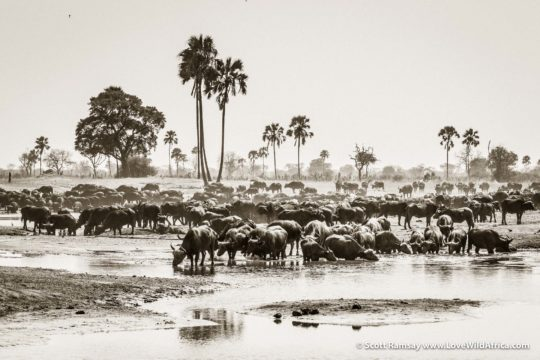 Cape buffalo herd drinking at midday - Hwange National Park - Zimbabwe