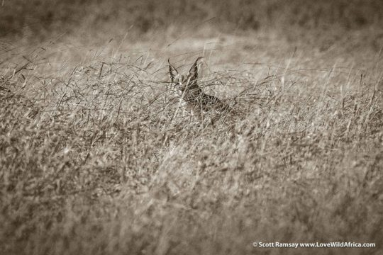 Caracal in grass - Hwange National Park - Zimbabwe