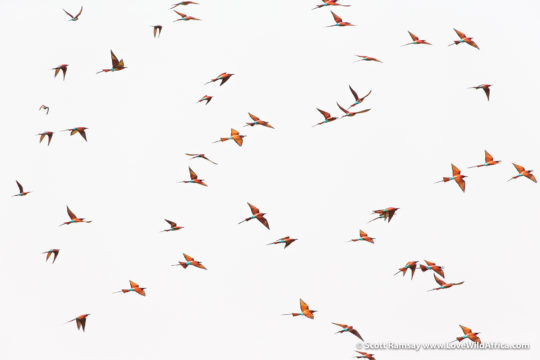 Carmine bee-eaters in flight - Mana Pools National Park - Zimbabwe