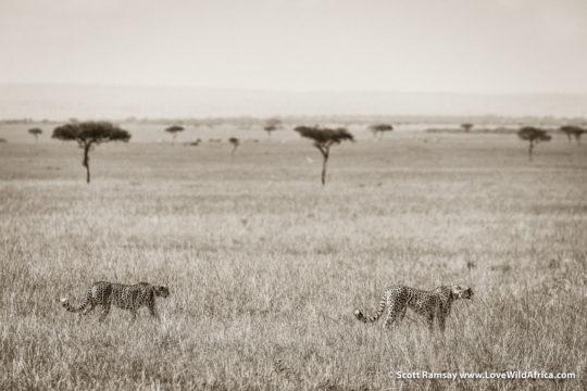 Cheetahs - Maasai Mara - Kenya