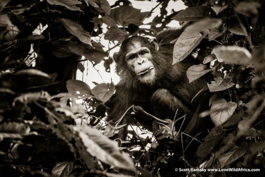 Chimpanzee - Virunga National Park - Democratic Republic of Congo