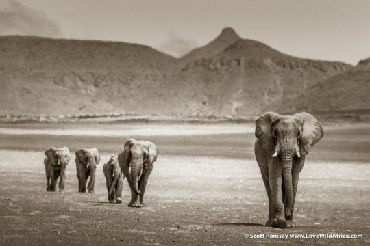 Desert Elephants - Kaokoveld - Namibia