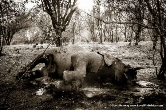 Dead elephant - Mana Pools National Park - Zimbabwe