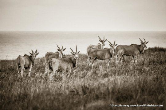 Eland - Mkambati Nature Reserve - South Africa