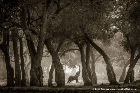 Elephant emperor and albida forest - Mana Pools National Park - Zimbabwe