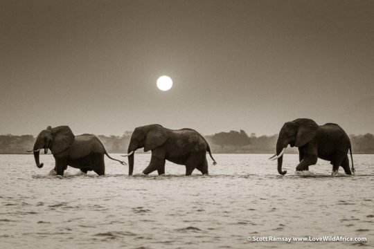 Three bull elephants or three wise kings? - Mana Pools National Park - Zimbabwe