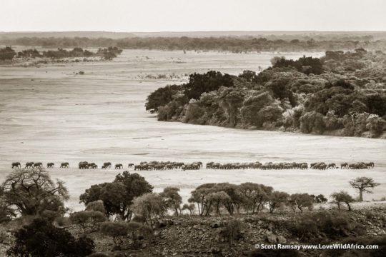 Elephants crossing Shashe River - Mapungubaw Transfrontier Conservation Area, on borders of Botswana, Zimbabwe, South Africa