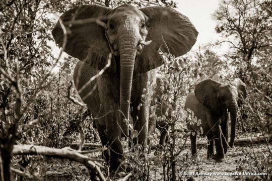 Elephant matriarch - Gonarezhou National Park - Zimbabwe