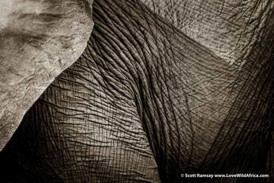 Elephant textures - Mana Pools National Park - Zimbabwe
