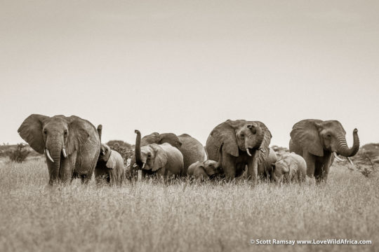 Elephants - Laikipia - Kenya