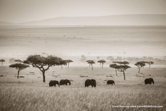 Elephants - Maasai Mara - Kenya