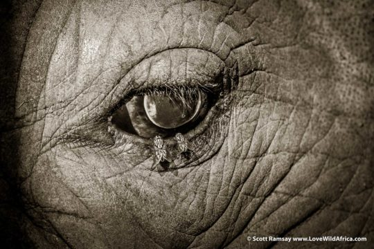 Eye of the white rhino - Hluhluwe-Imfolozi Park - South Africa
