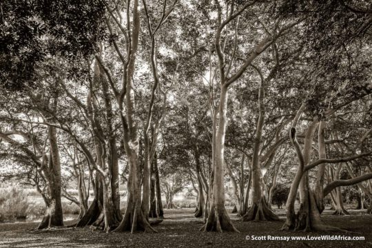 Fig tree forest - Ndumo Game Reserve - South Africa