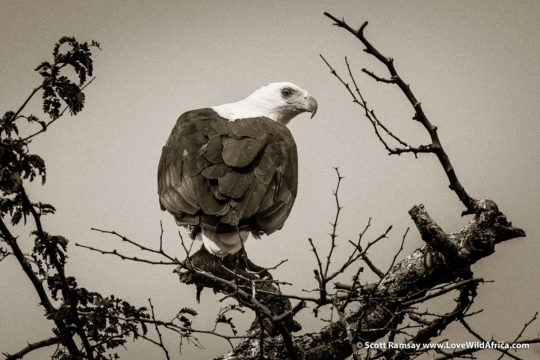 Fish eagle - Mana Pools National Park - Zimbabwe