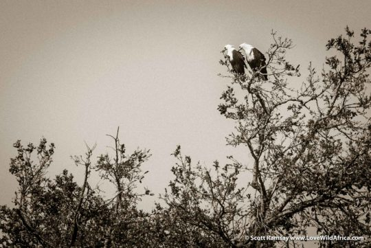 Fish eagle partnership - Hwange National Park - Zimbabwe