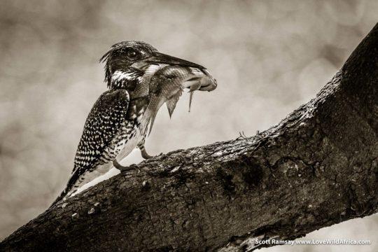 Giant kingfisher and catch - Mana Pools National Park - Zimbabwe