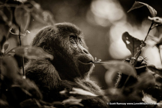 Grauer's Gorilla - Kahuzi-Biega National Park - Democratic Republic of Congo