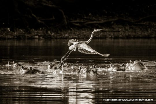 Grey heron and hippos - Mana Pools National Park - Zimbabwe